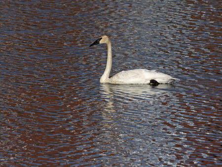 trumpeter swan: A Trumpeter Swan (Cygnus buccinator) swimming in the Grand River, in Cambridge, Ontario, Canada.