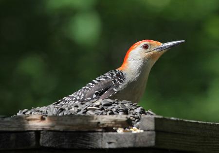 bird feeder: A Red-bellied Woodpecker (Melanerpes carolinus) sitting on a bird feeder.  Shot in Kitchener, Ontario, Canada. Stock Photo