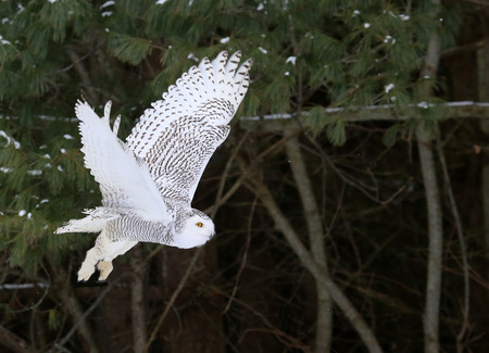 A Snowy Owl (Bubo scandiacus) in flight with trees in the background.