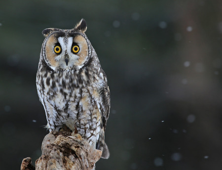 snow falling: A Long-eared Owl (Asio otus) sitting on a perch with snow falling in the background.