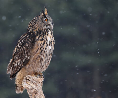 snow falling: A Eurasian Eagle Owl (Bubo bubo) sitting a perch with snow falling in the background.