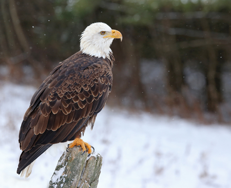 A Bald Eagle (haliaeetus leucocephalus) perched on a post with snow falling. Imagens