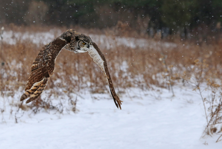 virginianus: A Great Horned Owl (Bubo virginianus) gliding through a field with snow falling in the background.