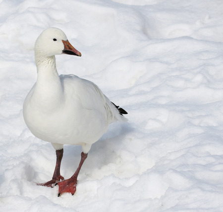 A Snow Goose (Chen caerulescens) standing in the snow.
