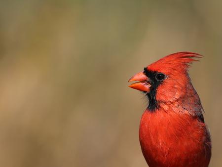 A head shot of a male northern cardinal (Cardinalis cardinalis).  Shot in Cambridge, Ontario, Canada.