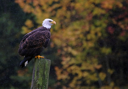 haliaeetus leucocephalus: A Bald Eagle (haliaeetus leucocephalus) perched on a post with autumn trees in the background. Stock Photo