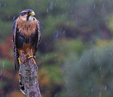 falco: An Aplomado Falcon (Falco femoralis) sitting on a post shot in the rain. Stock Photo