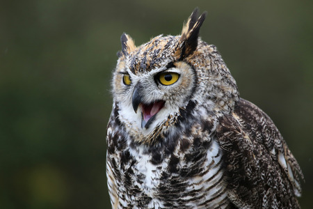 virginianus: A Great Horned Owl (Bubo virginianus) squaking. Stock Photo