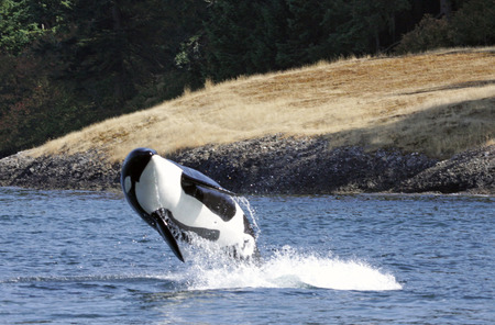 breaching: A Killer Whale (Orcinus orca) breaching near Vancouver Island in British Columbia, Canada.