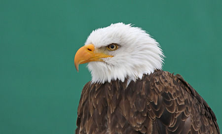 haliaeetus leucocephalus: A Bald Eagle (Haliaeetus leucocephalus) shot against a green background. Stock Photo