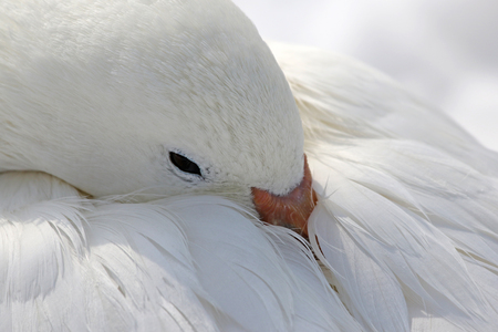 A Snow Goose (Chen caerulescens) covering its head in its own feathers.
