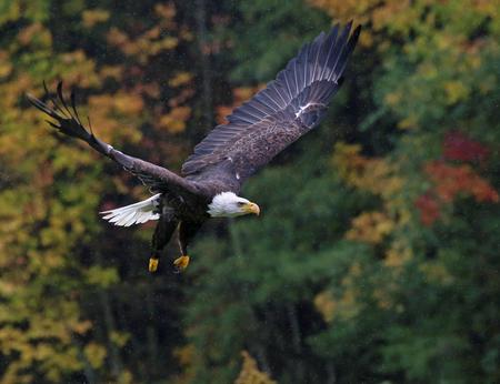 perching: A Bald Eagle (haliaeetus leucocephalus) flying over in Autumn with rain falling. Stock Photo