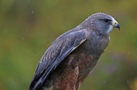 A Swainsons Hawk (Buteo swainsoni) sitting in the rain.