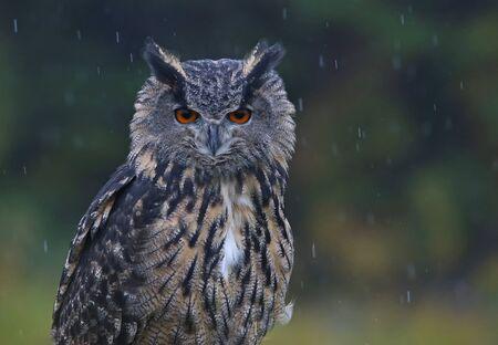 talons: A Eurasian Eagle Owl (Bubo bubo) looking at the camera in the rain.