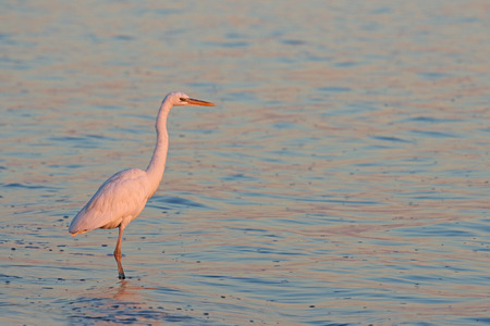 A Great Egret (Ardea alba) hunting on the shore of the West Cape of Everglades National Park, Florida.