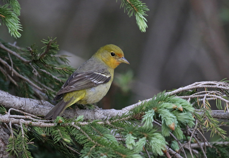 A female Western Tanager (Piranga ludoviciana) sitting in a spruce tree.  Shot in Rocky Mountain National Park, Colorado.