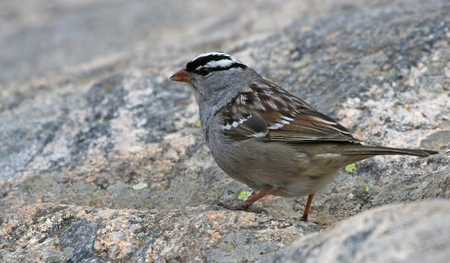 A white-crowned sparrow (Zonotrichia leucophrys) on a large granite rock, shot in Rocky Mountain National Park. Stock Photo - 108606114