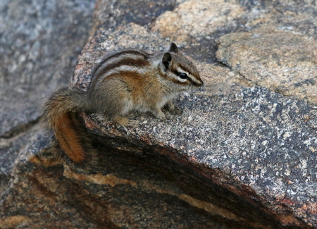 A Least Chipmunk (Tamias minimus) sitting on a rock in Rocky Mountain National Park, Colorado. 스톡 콘텐츠 - 108807344