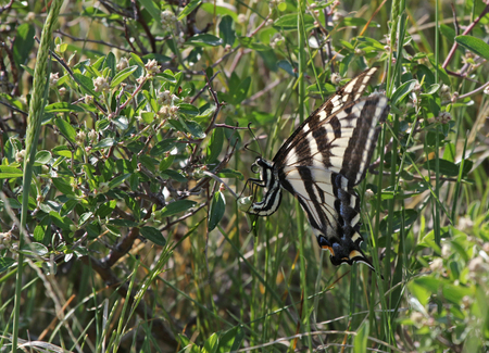 An Eastern Tiger Swallowtail (Papilio glaucus) feeding in a meadow, shot in Rocky Mountain National Park, Colorado. Stock Photo