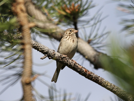 A Vesper Sparrow (Pooecetes gramineus) sitting on the branch of a pine tree, shot in Rocky Mountain National Park, Colorardo. Stock Photo