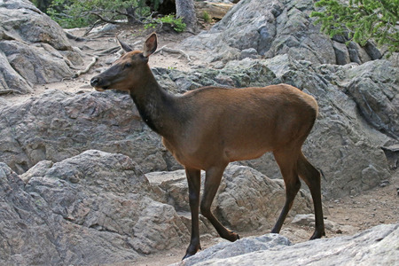 A female elk (Cervus canadensis) strolling by a large rocky outcroping, shot in Rocky Mountain National Park, Colorado.