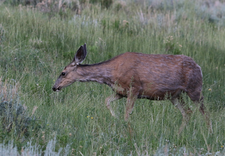 A Mule Deer (Odocoileus hemionus) feeding on grass.  Shot in Rocky Mountain National Park, Colorado. Stock Photo - 109275848