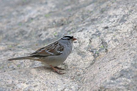 A white-crowned sparrow (Zonotrichia leucophrys) on a large granite rock, shot in Rocky Mountain National Park.