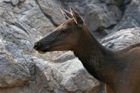 An elk (Cervus canadensis) profile, shot in Rocky Mountain National Park, Colorado.