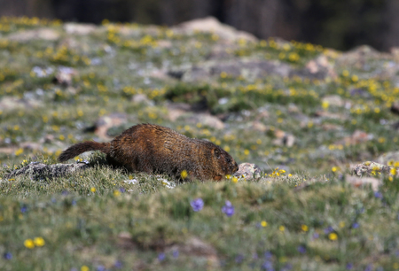 A yellow-bellied marmot (Marmota flaviventris) scurrying in a high elevation meadow.  Shot in Rocky Mountain National Park, Colorado, USA, just off of the Trail Ridge Road. Stock Photo - 119302014