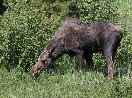A moose (Alces alces shirasi) feeding on grass, shot in Rocky Mountain National Park, Colorado. Stock Photo