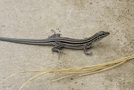 Six-lined Racerunner (Aspidoscelis sexlineata) on a path, shot in Highline Lake State Park, Mesa County, Colorado. Stock Photo - 119302019