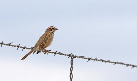 A Lark sparrow (Chondestes grammacus) sitting on a wire, shot in Highline Lake State Park, Mesa County, Colorado.