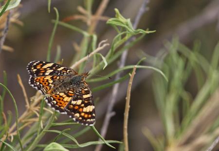 A dorsal shot of Gorgone Checkerspot (Chlosyne gorgone) butterfly, shot in Highline Lake State Park, Mesa County, Colorado.