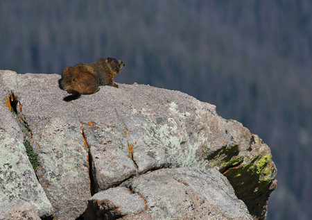 A yellow-bellied marmot (Marmota flaviventris) resting on a granite outcropping.  Shot in Rocky Mountain National Park, Colorado, USA, just off of the Trail Ridge Road. Stock Photo - 119302051