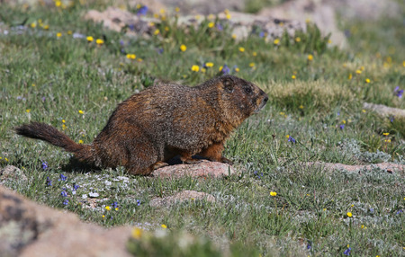 A yellow-bellied marmot (Marmota flaviventris) standing in a high elevation meadow.  Shot in Rocky Mountain National Park, Colorado, USA, just off of the Trail Ridge Road.