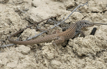 A Western Whiptail (Aspidoscelis tigris) in the dirt, shot in Highline Lake State Park, Mesa County, Colorado.