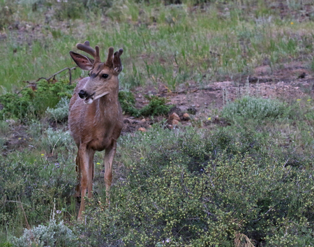 A Mule Deer (Odocoileus hemionus) feeding on grass.  Shot in Rocky Mountain National Park, Colorado. Stock Photo