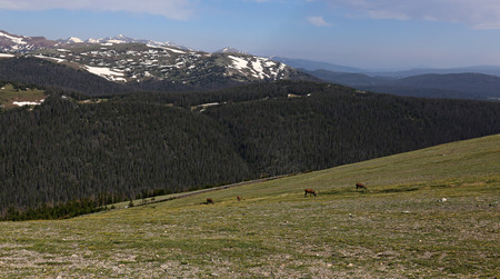 Four elk (Cervus canadensis) feeding on vegetation in the tundra, shot in Rocky Mountain National Park, Colorado. Stock Photo