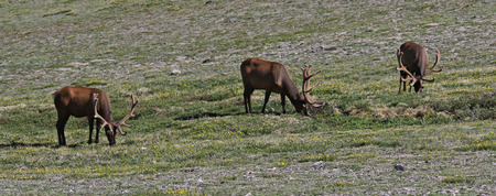 Three elk (Cervus canadensis) feeding on vegetation in the tundra, shot in Rocky Mountain National Park, Colorado. Stock Photo