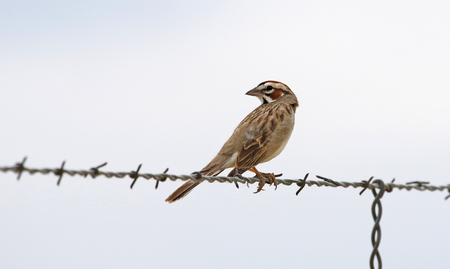 A Lark sparrow (Chondestes grammacus) sitting on a wire looking back, shot in Highline Lake State Park, Mesa County, Colorado. Stock Photo - 119302067