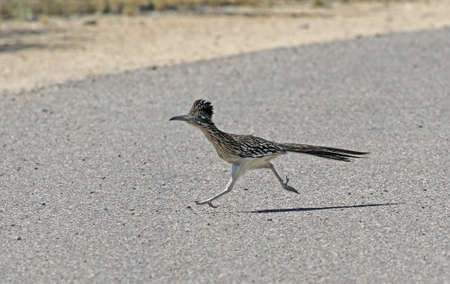 A Greater Roadrunner (Geococcyx californianus) running across a road.  Shot in Tuscon, Arizona, United States of America.