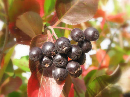 ashberry: Black ashberry Stock Photo