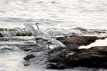 Egret On the sea photo