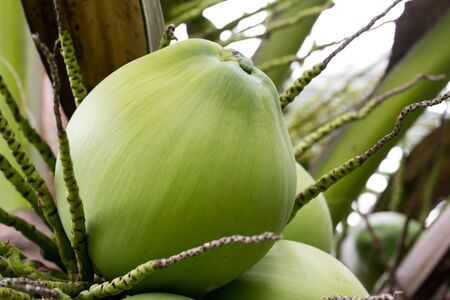 Coconut tree closeup photo