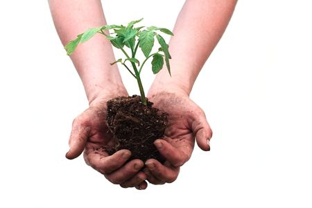 Hands holding seedling of tomato plant on white background