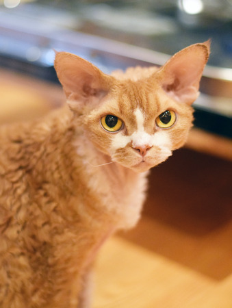 Beautiful portrait of Devon Rex cat with bright eyes Stock Photo