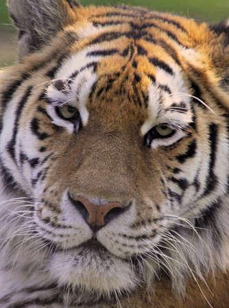 Close crop of an Amur tigers face Stock Photo - 7626389