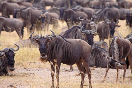 A small herd of wildebeest in the Ngorongoro Crater, Tanzania