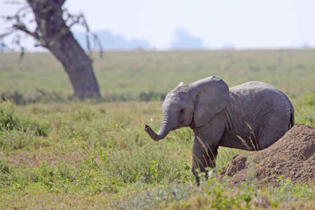 Young african elephant emerging from behind a termite mound in the Serengeti national park. Stock Photo - 7672362