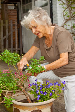 Senior lady gardener pruning and dead-heading her potted plants photo